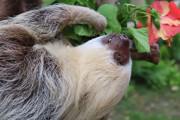 Mila the sloth at SeaWorld Orlando
